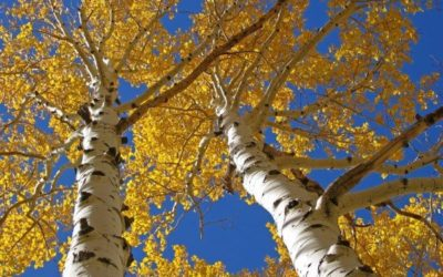 A Short Guide to Aspen Trees and Their Care