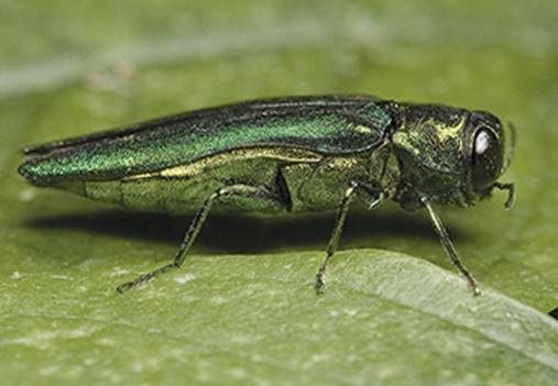 adult emerald ash borer