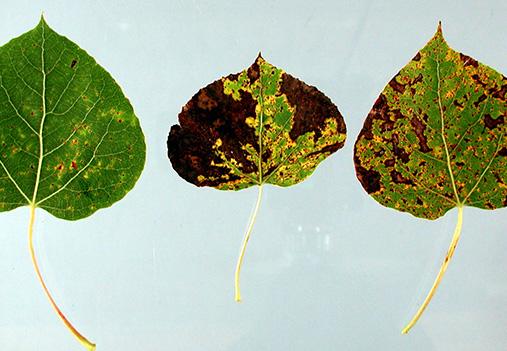 aspen tree marssonina leaf blight