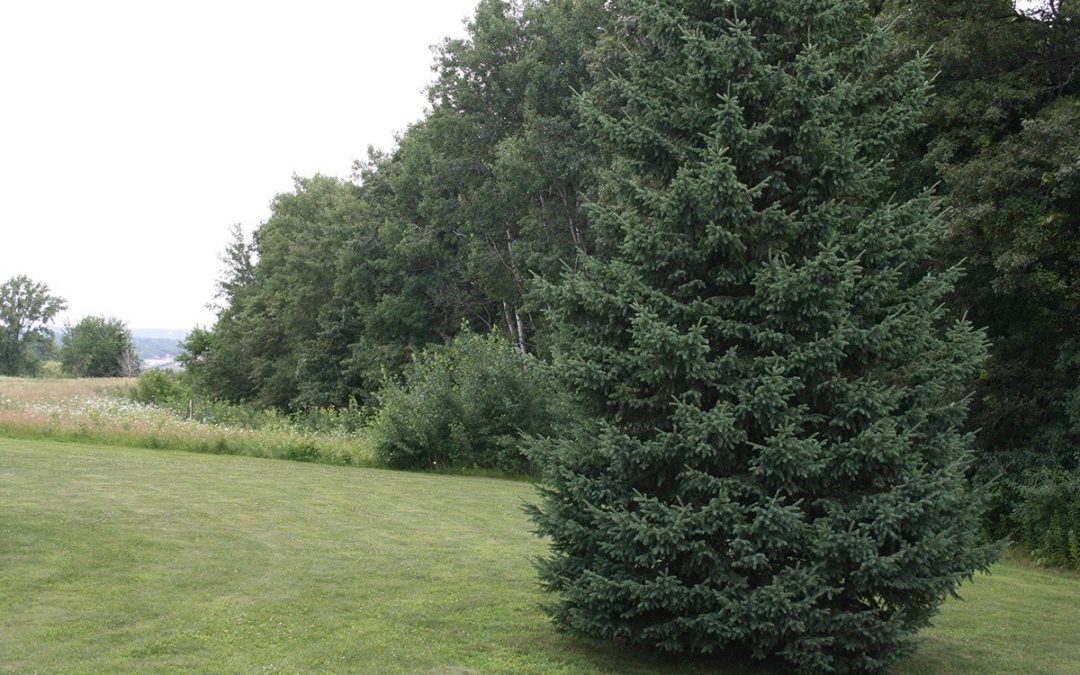 Planting and Caring for a New Evergreen Tree