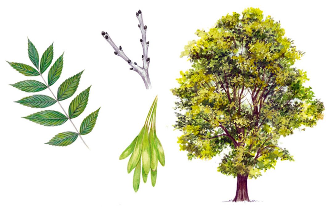 ash tree illustration