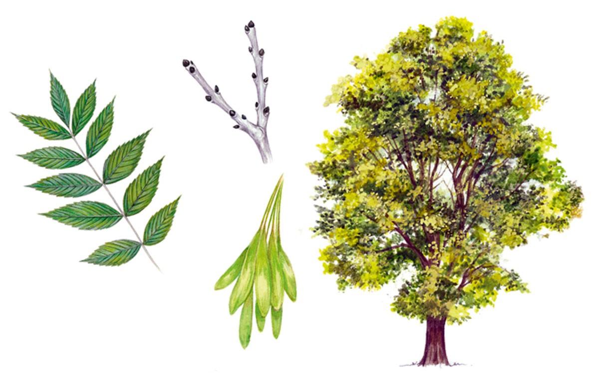 Denver Emerald Ash Borer Update Ross Tree Company