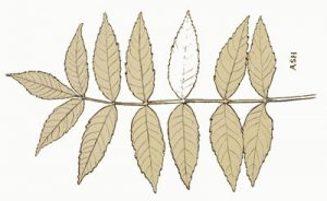 ash trees have compound leafs