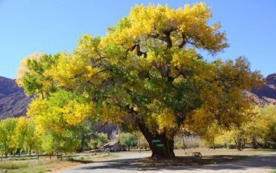 Common Poplar & Cottonwood Tree Issues