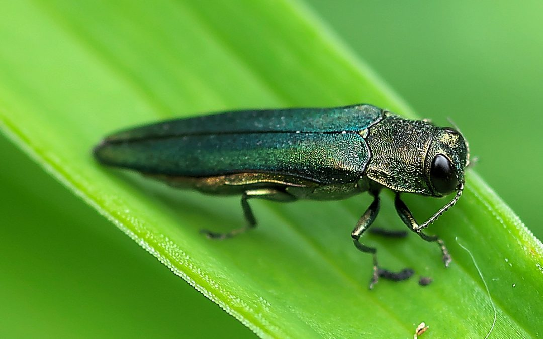 Emerald Ash Borer on the Move in Broomfield and Westminster