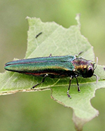 eab on leaf