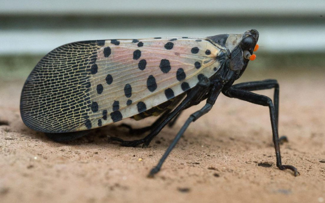 The Attack of the Spotted Lanternfly – Maybe?