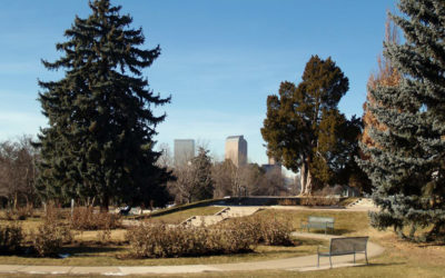Time To Protect Large Blue Spruce Trees in Denver