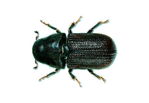mountain pine beetle MPB