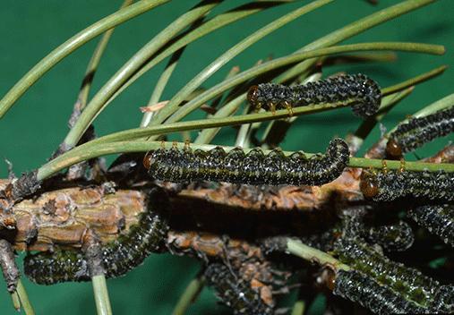 ponderosa pine sawfly