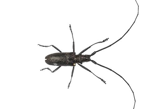 sawyers beetle host