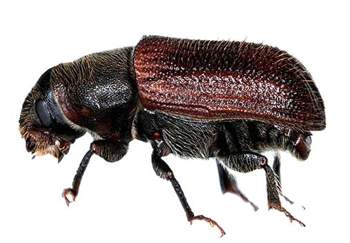 spruce beetle denver