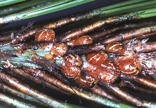 Striped Pine Scale