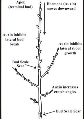 apical dominance in trees