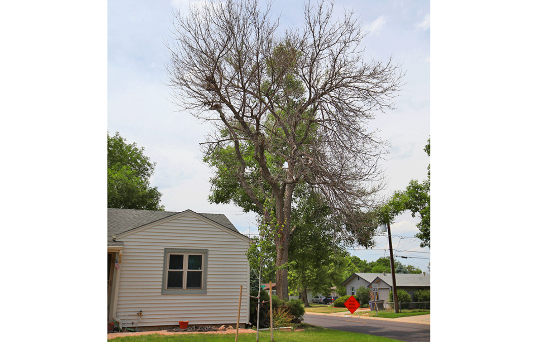 Common Summer Tree Issues in Denver