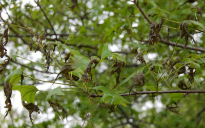 Ask a Professional – Why Is There Widespread Tree Damage in Denver?