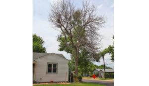 ash tree frost damage in denver