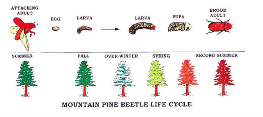 mountain pine beetle lifecycle