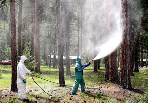 mountain pine beetle control spraying