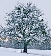 avoid winter tree damage