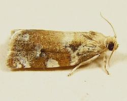 oak leaf roller moth