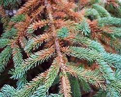 spruce spider mites