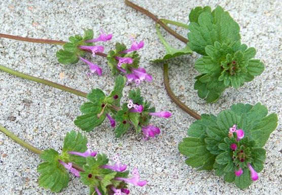 henbit weed indicator species