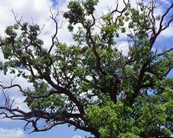 over mature tree