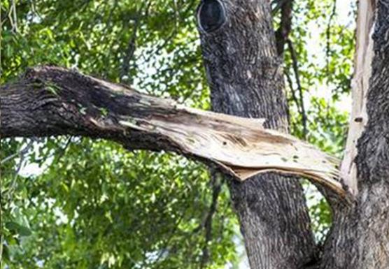 broken limb in tree