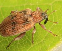 elm flea weevil