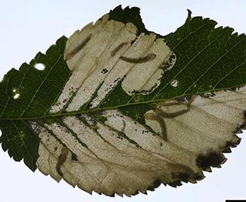 elm leaf miner damage