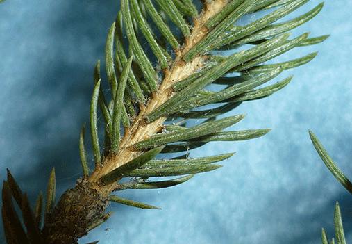conifer spider mites