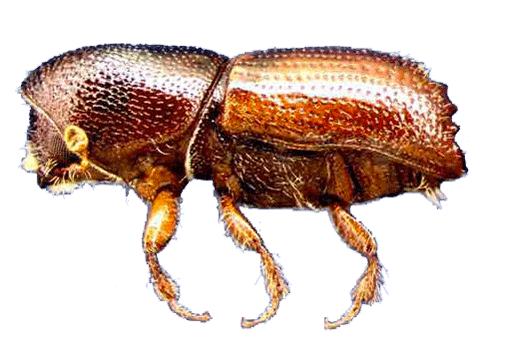 ips beetle denver