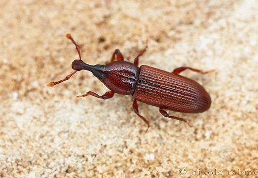 Wood Borer Weevils