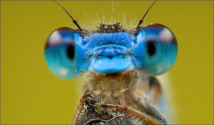 big eye bug