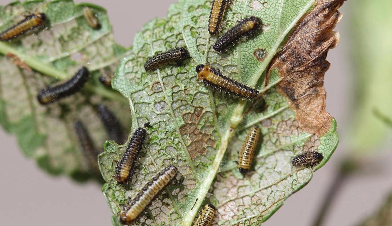 elm leaf beetle larvae