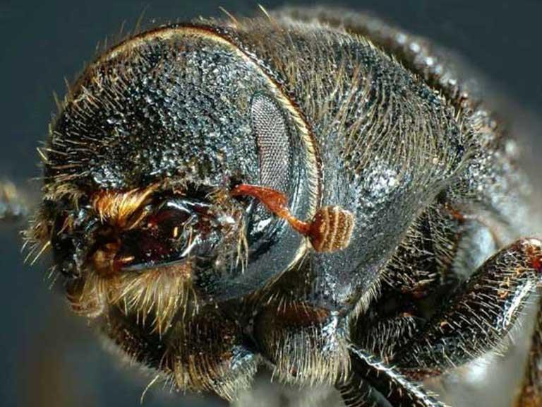 pine beetle treatment in Denver