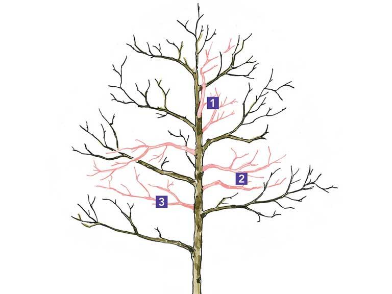 pruning young saplings