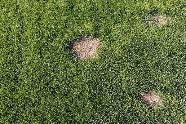 turf mites in spring